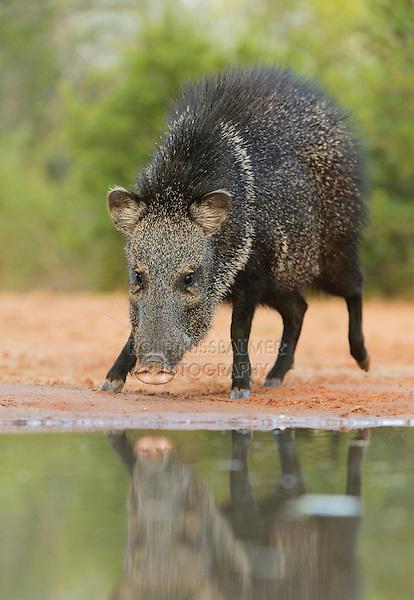 Collared Peccary, Javelina (Tayassu tajacu), adult at ponds edge, South Texas, USA