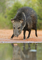 Collared Peccary, Javelina (Tayassu tajacu), adult at ponds edge, South Texas, USA