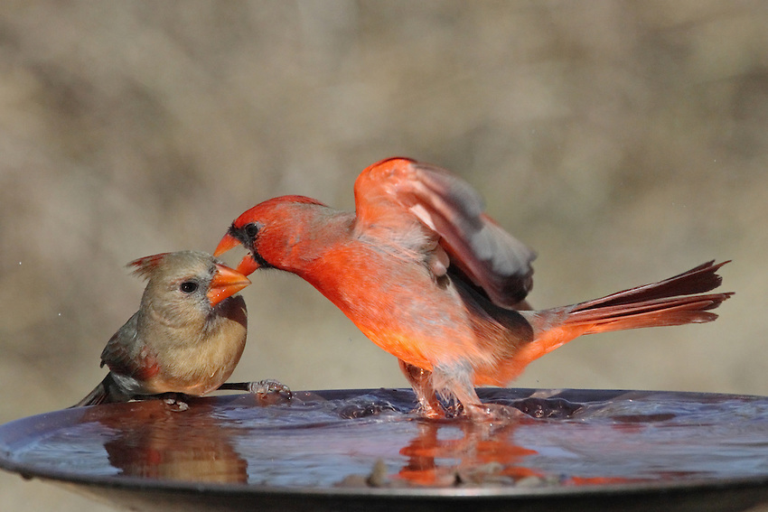 Cardinal male/female pair, with the male exhibiting some aggressive behavior.
