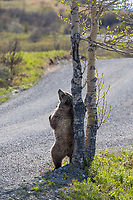 Grizzly bear scratching its back on a balsam poplar tree along the Denali National park road, Alaska.