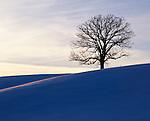 oak tree on hill, Howard County, Iowa