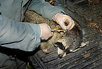 Government bioloigist applying ear tag to wild raccoon as part of rabies control program