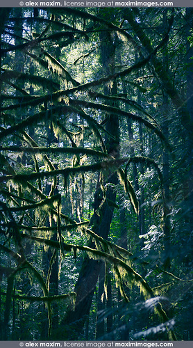 Artistic image of sunlight shining through beautiful mossy bramches of tall Douglas fir trees in a deep green forest. Vancouver Island, British Columbia, Canada.