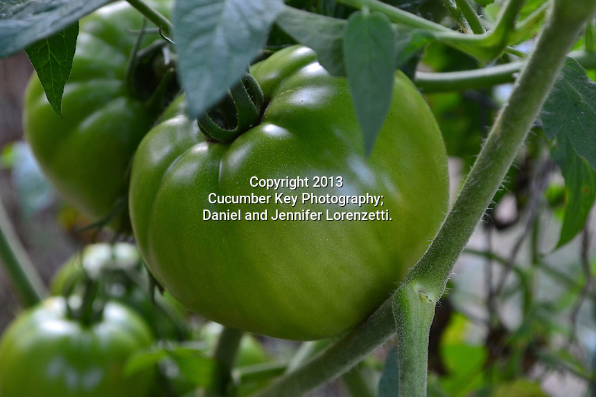 Green tomatoes on the vine in an Ohio summer.