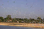 Israel, Beth Shean Valley, birds over the fish ponds in Kibbutz Tirat Zvi