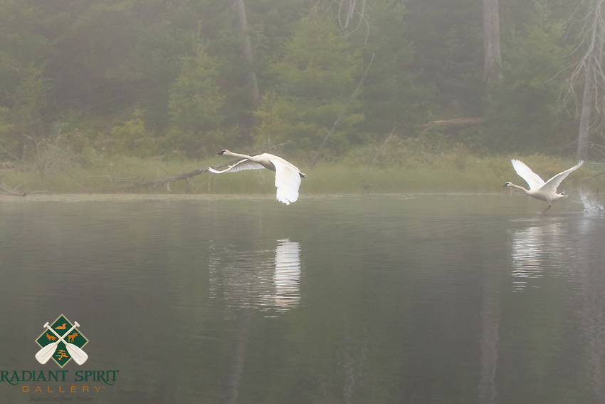 &quot;Trumpeters in the Fog&quot;<br />