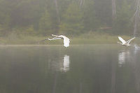 """Trumpeters in the Fog""<br />