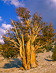Inyo national Forest, CA: Evening sun on Bristlecone pines (Pinus Longaeva) in the Patriarch Grove of The Ancient Bristlecone Pine Forest