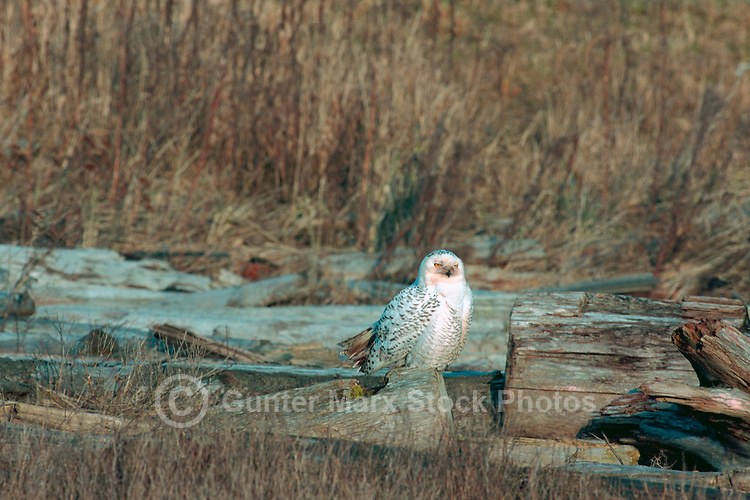 Snowy Owl (Bubo scandiacus) Female or Juvenile, sitting on Frost Covered Log at Boundary Bay Regional Park, Delta, BC, British Columbia, Canada - aka Arctic Owl, Great White Owl or Harfang.  Note bloody face from feeding on hunted prey.