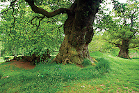 Cadzow Oaks, Chatelherault, South Lanarkshire