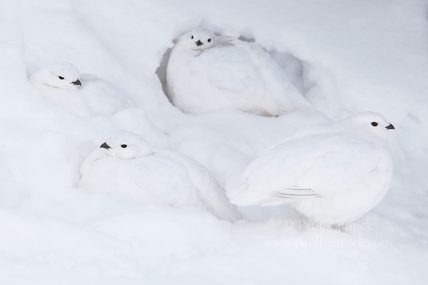 Four White-tailed Ptarmigan emerge from the snow.
