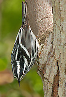 591350010 a wild male black-and-white warbler mniotilta varia forages for insects on a tree limb on south padre island in cameron county texas