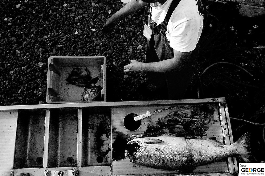 Cleaning a 40-pound King Salmon and preparing it to be sent home for the family and friends.  The fishery only processes the wild Sockeye Salmon, so the other four species of Pacific Salmon caught in the nets are eaten or sent home.