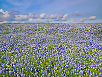 Field of bluebonnet flowers, Texas state flower, and blue sky with puffy clouds in the spring.