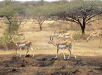 Deer herd roaming freely in Sasan Gir forest of Gujarat