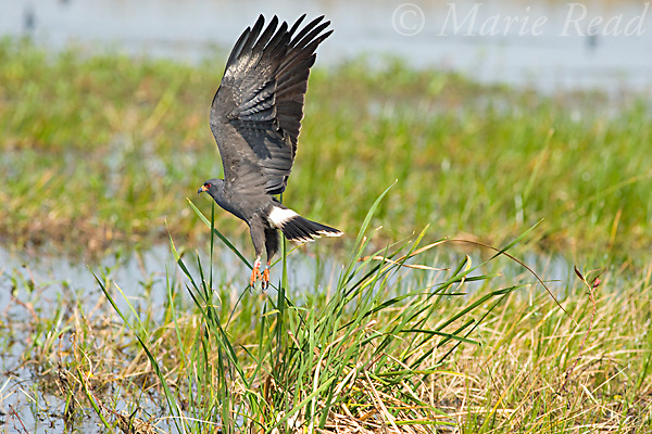 Snail Kite  (Rostrhamus sociabilis), male taking flight, Osceola County, Florida, USA