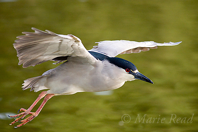 Black-crowned Night-Heron (Nycticorax nycticorax), close-up in flight, California, USA