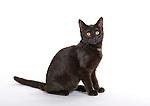 6 month old Kitten, Cat, Black, in studio, UK