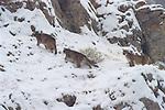 Three Mountain lion cubs climbing Miller Butte.