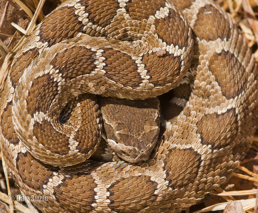 Northern Pacific rattlesnake, Crotalus viridis oreganus, in a resting coil. Mount Diablo State Park, California