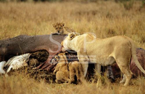 Maasai Mara Game Reserve, Kenya. Lioness (Panthera leo) with three cubs with a dead hippopotamus carcass.