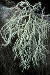 Spiny Witch's Hair Lichen (Alectoria imshaugii), Mt. Hood National Forest, Oregon, USA