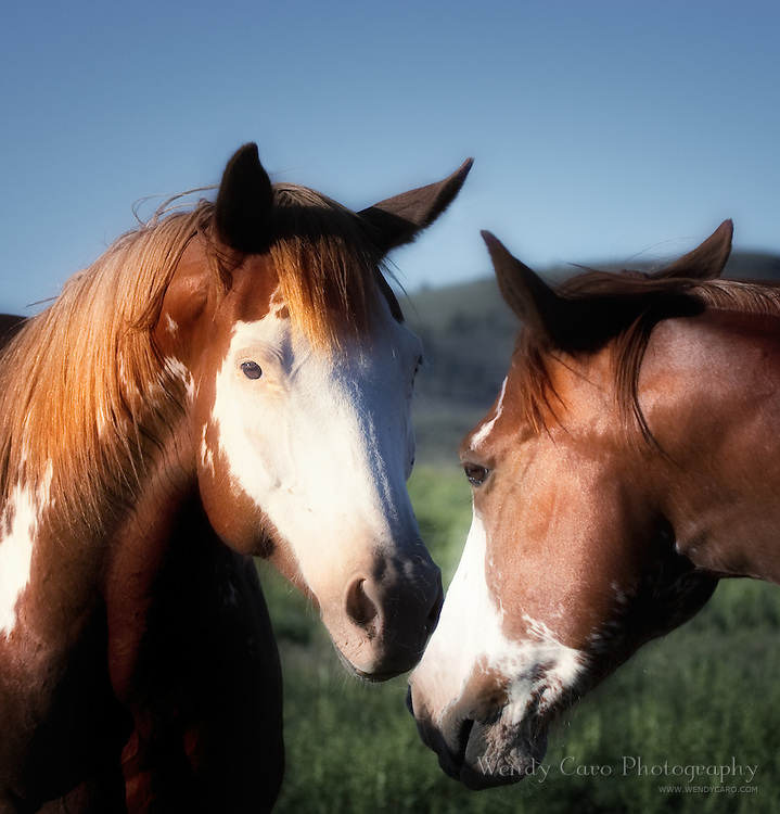 Portrait of two white faced mustangs standing nose to nose, eastern Oregon.