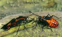 HE05-034z Large Milkweed Bug Nymph and Adult on milkweed, Oncopeltus fasciatus