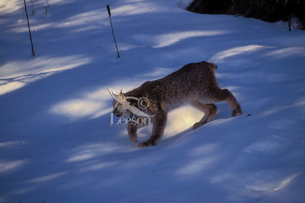 LYNX.  Large furry feet allow speed and silent stalking through snow. Winter. Rocky Mountains. North America. (Felis lynx canadensis).