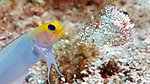 Opistognathus aurifrons, Yellowhead jawfish, Florida Keys