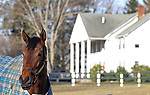 A thoroughbred racehorse in one of the paddocks at Overbrook Farm in Colts Neck, New Jersey.