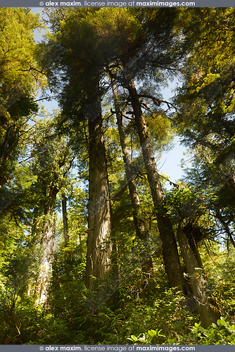 Tall Douglas Fir trees at the Pacific Rim National Park Rainforest in Tofino, Vancouver Island, BC, Canada. Image © MaximImages, License at https://www.maximimages.com