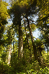 Tall Douglas Fir trees at the Pacific Rim National Park Rainforest in Tofino, Vancouver Island, BC, Canada.