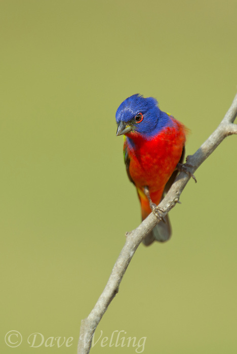 510440147 a wild male painted bunting passerina ciris perches on a small branch on laguna seca ranch rio grande valley texas united states
