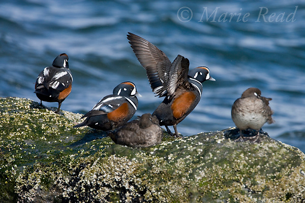 Harlequin Ducks (Histrionicus histrionicus), group of five males and females, male flapping its wings, Barnegat Inlet, New Jersey, USA