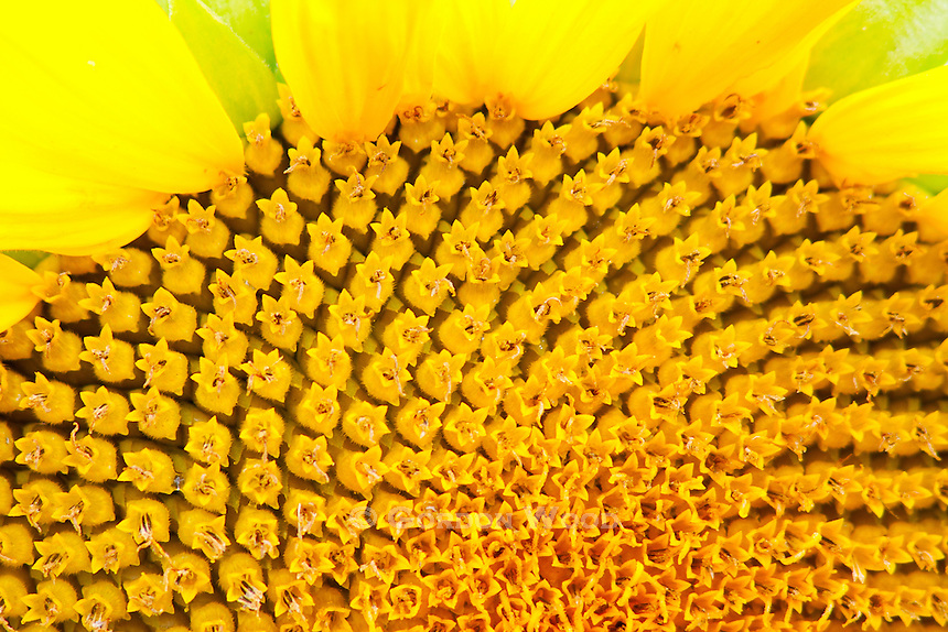 Sunflower closeup detail