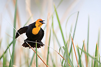 Yellow-headed Blackbird (Xanthocephalus xanthocephalus), male singing and displaying at the Henderson Bird Viewing Preserve in Henderson, Nevada.