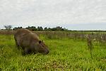 Capybara (Hydrochoerus hydrochaeris) grazing in marsh, Ibera Provincial Reserve, Ibera Wetlands, Argentina