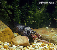 MB15-043x  Star-nosed Mole - catching a worm in a pool of  water - Condylura cristata