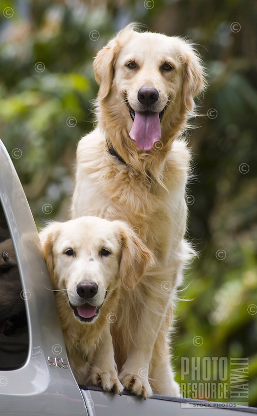 Two friendly golden retrievers waiting for their owner in a pickup truck