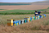 Gheorghe and his son on the frame hives, inspecting them before the harvest. `