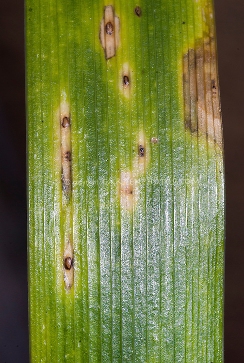 Iris rust disease spots on leaves of Iris foetidissima