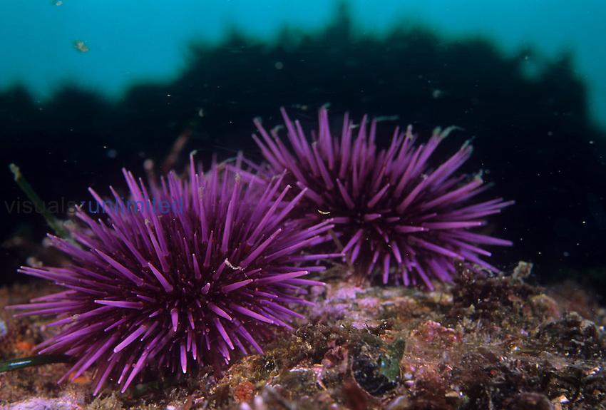 Purple Sea Urchins ,Strongylocentrotus purpuratus,. California, USA.