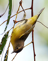 Nashville warbler hanging on twig