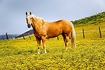 Palomino Quarter Horse, San Luis Obispo on the Central Coast of California