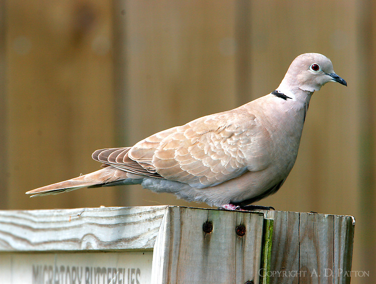 Juvenile Eurasian collared dove. The hawks love them as they fly straight and slowly.