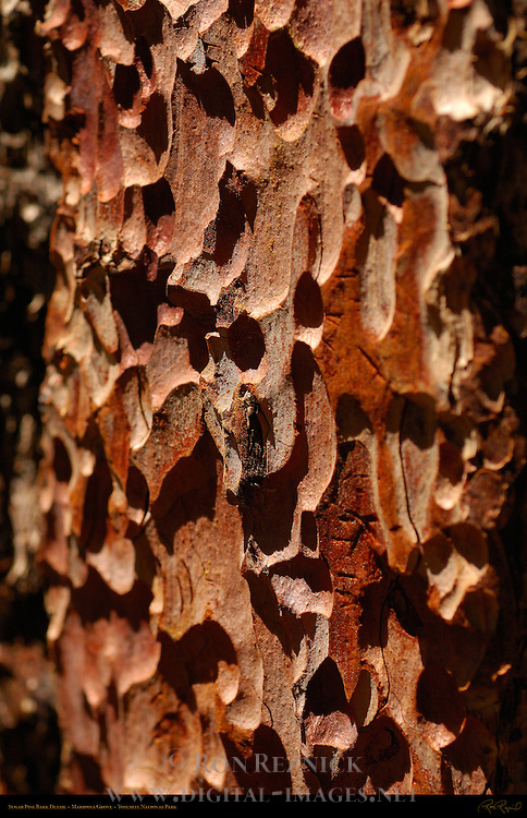 Sugar Pine Bark Detail, Pinus lambertiana, Mariposa Grove of Giant Sequoias, Yosemite National Park