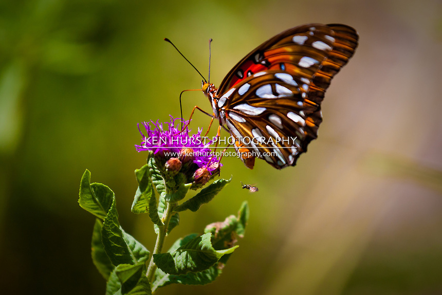 A Gulf Fritillary butterfly, or Passion Butterfly (Agraulis vanillae) poised on a purple flower with a small bee flying nearby.