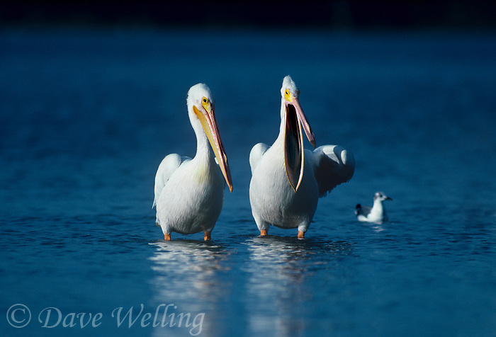 570047010 a pair of white pelicans pelecanus erythrorhynchos stand in an estuary in the ding darling national wildlife refuge in south florida