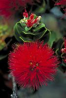 Lehua blossom, Big Island flower